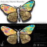 Polycelis 16